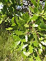 Quercus ×macdonaldii.jpg