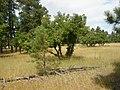 Quercus macrocarpa (5108084520).jpg