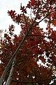 Quercus shumardii 14zz.jpg
