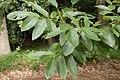 Quercus variabilis 02.jpg