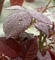 ROSE WITH WATER DROPLETS.jpg