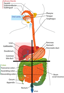 Abdominal Pain Upper Right Quadrant http://en.wikipedia.org/wiki/Right_upper_quadrant_(abdomen)