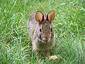 Rabbit-closeup.jpg