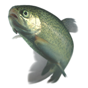 Rainbow trout transparent.png