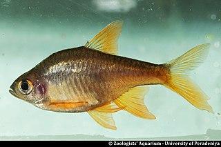 <i>Rasboroides pallidus</i>