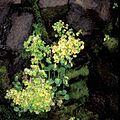Rat island wildflowers mimulas guttatus saxifraga bractiata.jpg