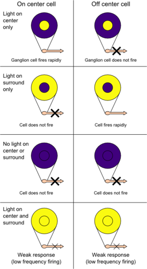 Receptive field - On center and off center retinal ganglion cells respond oppositely to light in the center and surround of their receptive fields. A strong response means high frequency firing, a weak response is firing at a low frequency, and no response means no action potential is fired.