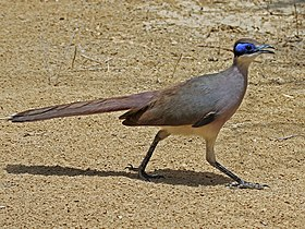 Red-capped Coua RWD2.jpg