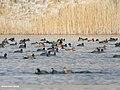 Red-crested Pochard (Netta rufina), Mallard (Anas platyrhynchos), Northern Shoveler (Anas clypeata), Eurasian Wigeon (Anas penelope), Gadwall (Anas strepera) & Eurasian Coot (Fulica atra) (46133923555).jpg