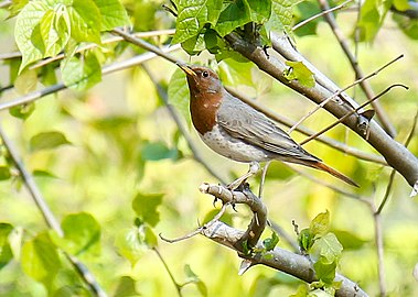Red-throated thrush in Nepal (1) (cropped).jpg