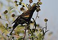 Red-winged Blackbird (36942934694).jpg