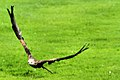 Red Kite - Gigrin Farm Wales (10347400405).jpg
