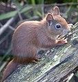Red Squirrel 3 (4995838621).jpg