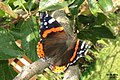 Red admiral (NH266) (15888422101).jpg