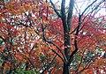 Red leaves on Zhongxing Road, Yangmingshan Park 陽明山中興路上的紅葉 - panoramio.jpg