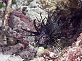 Red lionfish (Pterois volitans) (41949918510).jpg