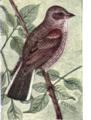 Reed-vesper-sparrow.png