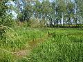Reed and Yellow Iris beds, Pedlar Wife Hole - geograph.org.uk - 1328970.jpg