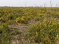 Regenerating gorse, Beaulieu Heath, New Forest - geograph.org.uk - 408455.jpg