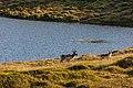 Reno (Rangifer tarandus), Honningsvåg, Noruega, 2019-09-03, DD 37.jpg