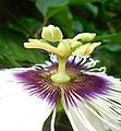Reproductive organs Passiflora edulis 01.jpg