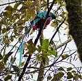Resplendent Quetzal (Pharomachrus mocinno) - Flickr - gailhampshire.jpg