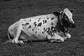 Resting cow (14626564721).jpg