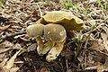 Retiboletus ornatipes 12.jpg