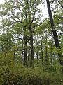 Rezerwat przyrody Dęby w Meszczach 12.01 01.jpg