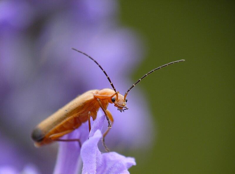 [Rhagonycha fulva] Insecte orange 800px-Rhagonycha_fulva_on_lavender