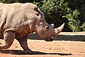 Rhinoceros in the zoo of Rabat, Morocco.jpg