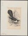 Rhipidura laticauda - 1838 - Print - Iconographia Zoologica - Special Collections University of Amsterdam - UBA01 IZ16500079.tif