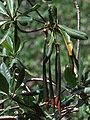 Rhizophora mangle-propagules.jpg
