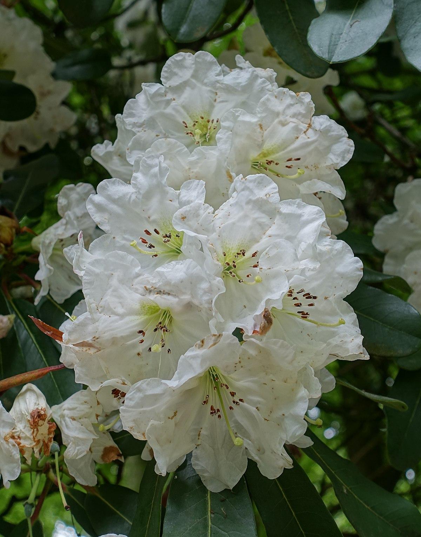 Rhododendron Decorum Wikipedia