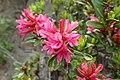 Rhododendron ferrugineum kz02.jpg