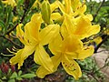 Rhododendron luteum 02.JPG