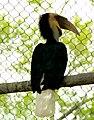 Rhyticeros undulatus -Atlanta Zoo, Georgia, USA-8a.jpg
