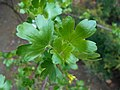 Ribes aureum 2017-04-17 7354.jpg