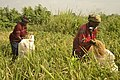 Rice processing in South East Nigeria4.jpg