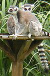 Ring-tailed lemur cropped.jpg