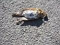 Roadkill Turdus philomelos.jpg