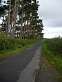 Roadside Pines Near Backburn - geograph.org.uk - 564751.jpg