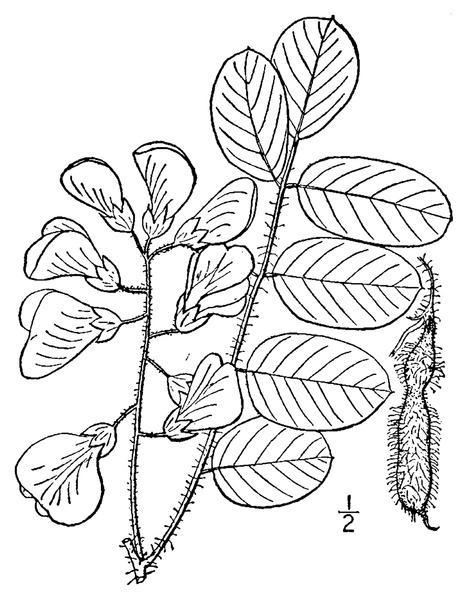 File:Robinia hispida L. Bristly locust.tiff