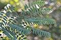 Robinia pseudoacacia - black locust - Robinie - robinier faux-acacia 02.jpg