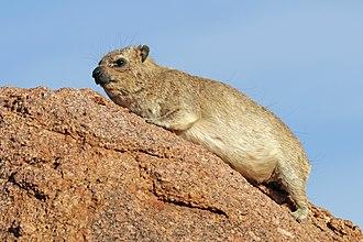 Hyrax - Rock hyrax (Procavia capensis) Erongo, Namibia
