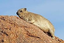 Rock hyrax (Procavia capensis).jpg