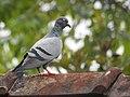 Rock pigeon (Columba livia) 5.jpg
