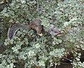 Rock squirrel - Grand Canyon National Park - 6.jpg