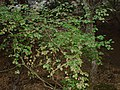 Rodos, Petaloudes, Dolina Motyli(Aw58) DSC08766.JPG