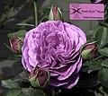 Rosa 'Heidi Klum-Rose'.jpg